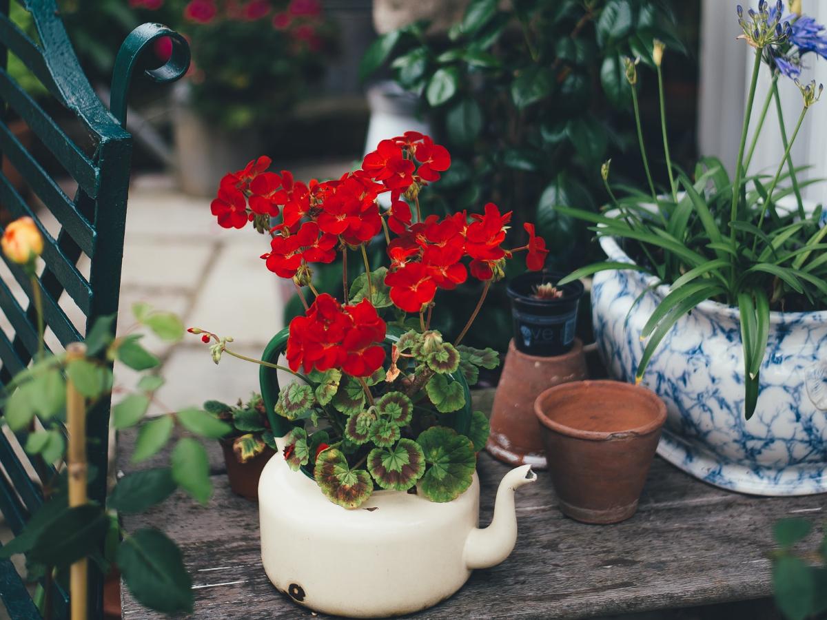 κόκκινο γεράνι σε λευκή γλάστρα μαζί με άλλα φυτά