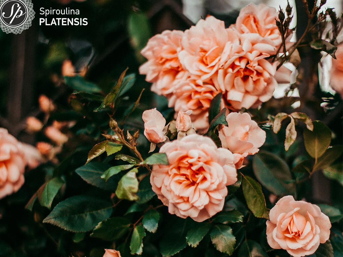 Πολλά πορτοκαλί τριαντάφυλλα