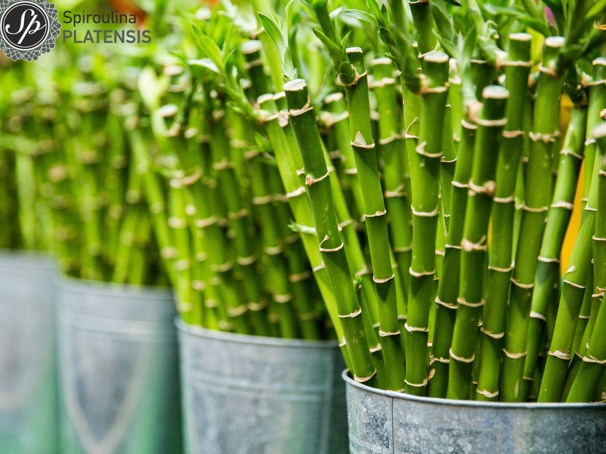 Bamboo σε ανοξείδωτους κάδους